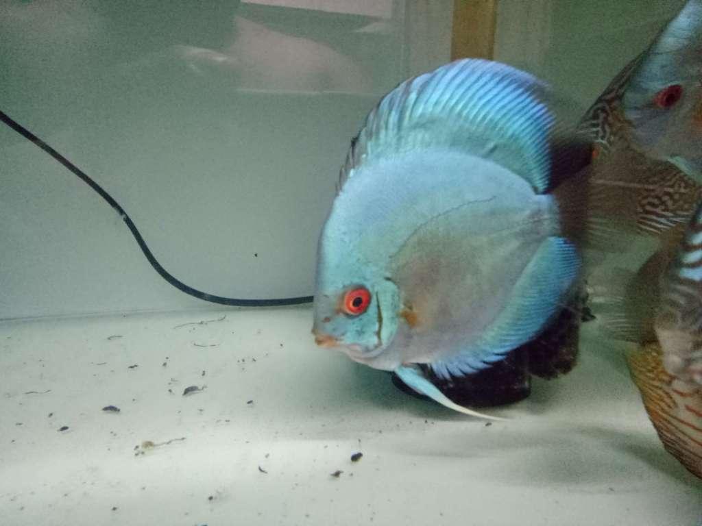 Discus Fish Strains